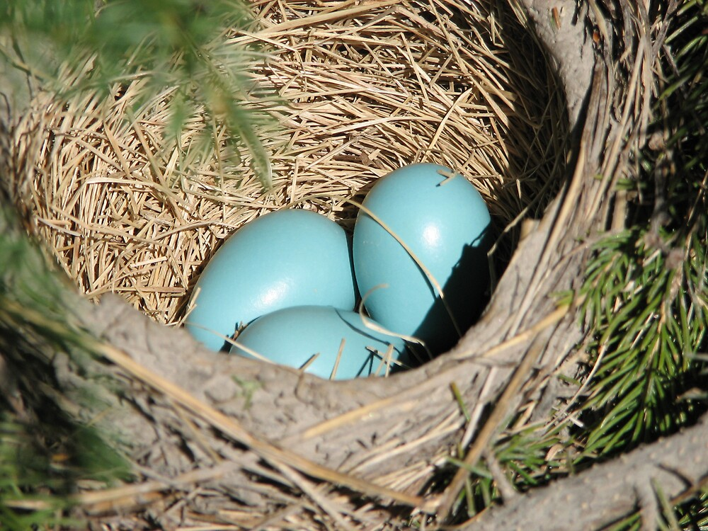 Robin's eggs by JohnEvans