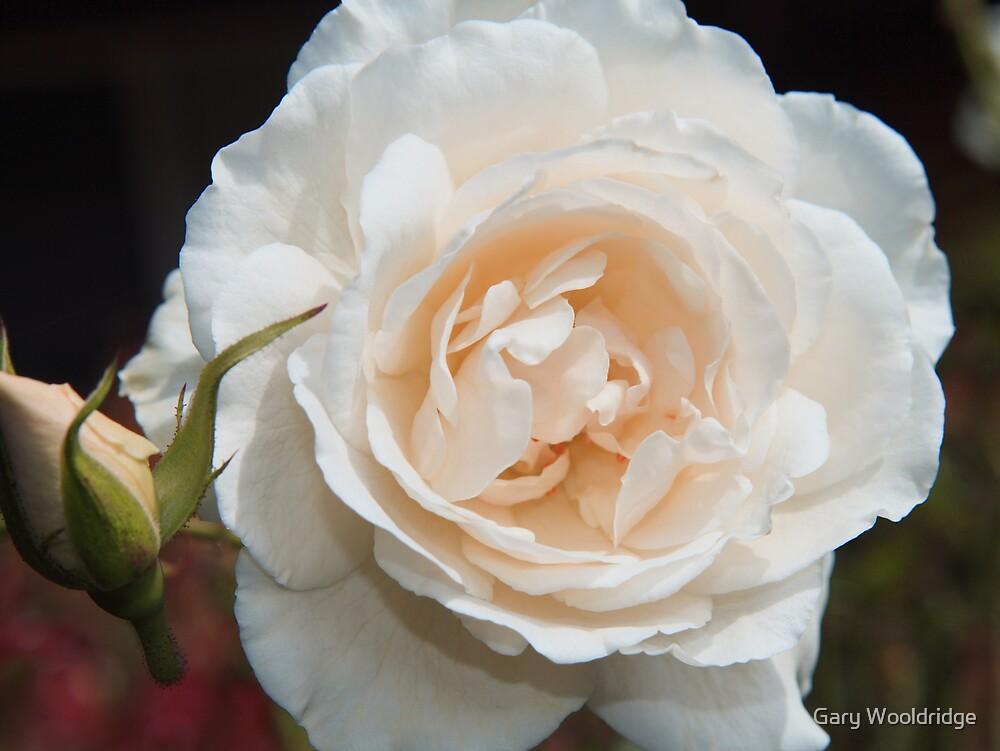 White rose by Gary Wooldridge
