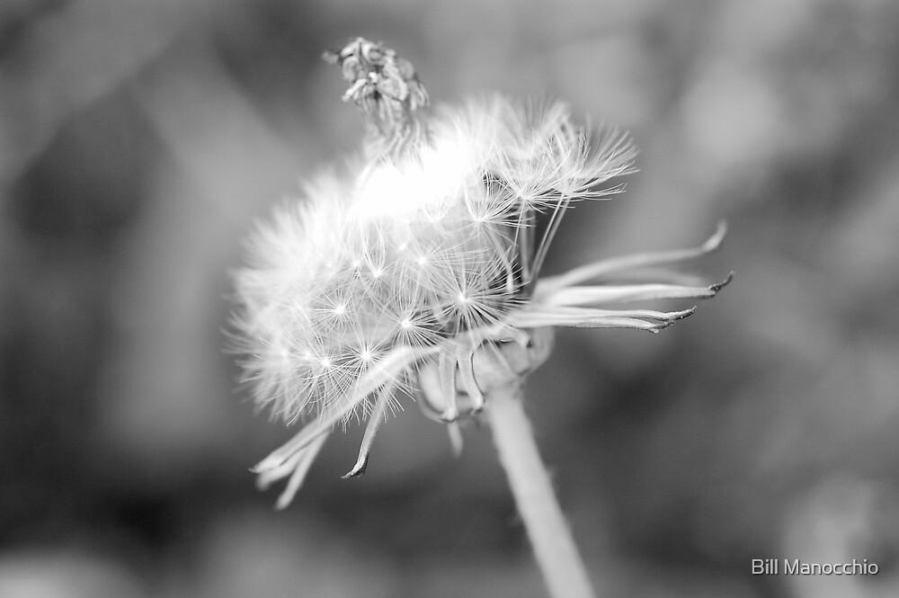 king dandelion  by Bill Manocchio