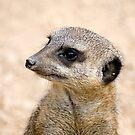 Meerkat Portrait by llemmacs