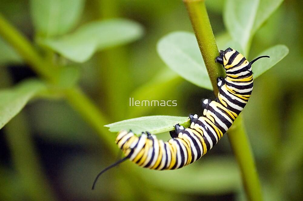 Striped Caterpillar by llemmacs
