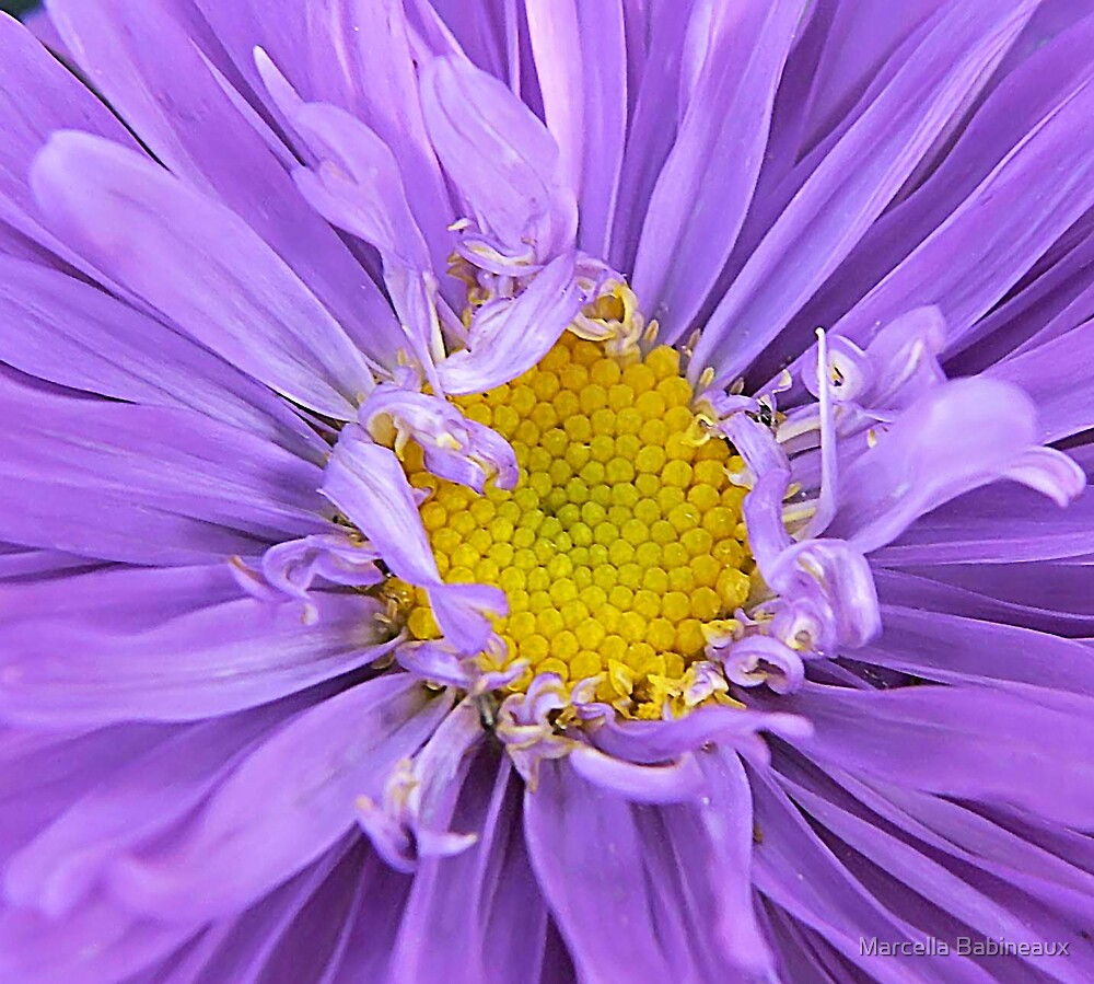 Center Of An Aster Bloom by Marcella Babineaux