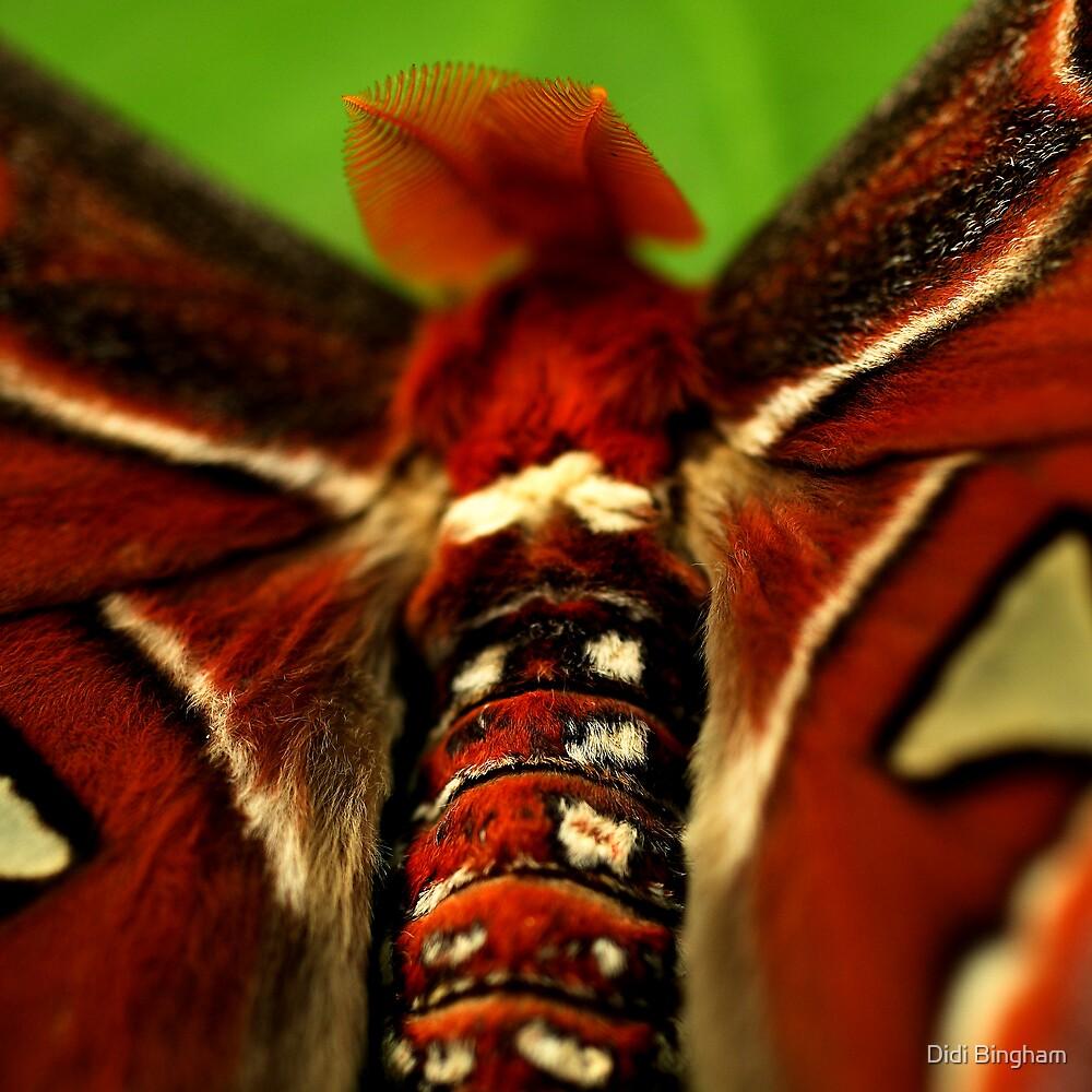 Atlas Moth by Didi Bingham