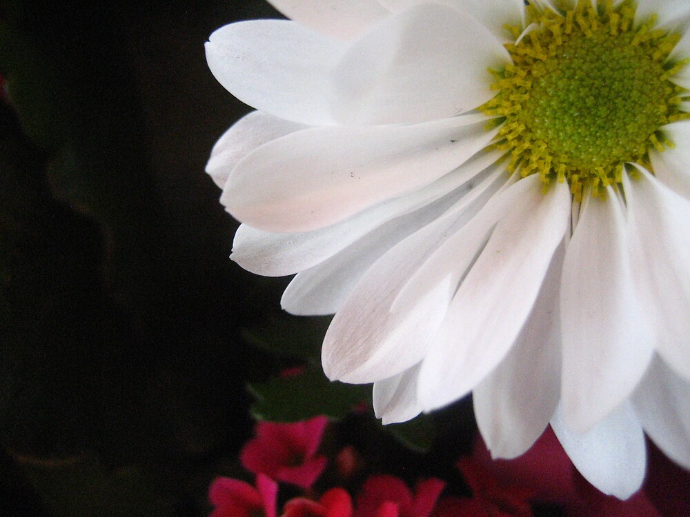 Daisy by junebug076