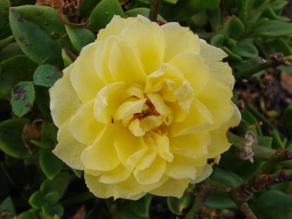 Yellow Flower by Daniel Simoes