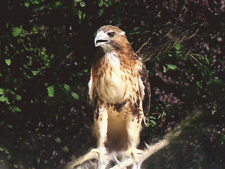 Red Tail Hawk!!!!!!!!!! by Judi Taylor