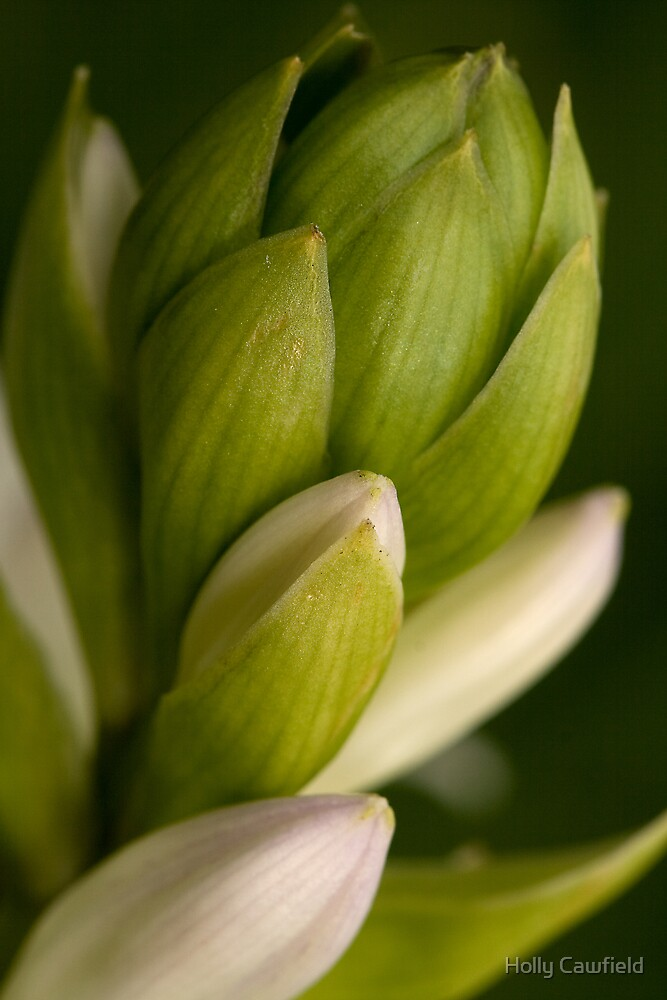 Hosta Buds by Holly Cawfield