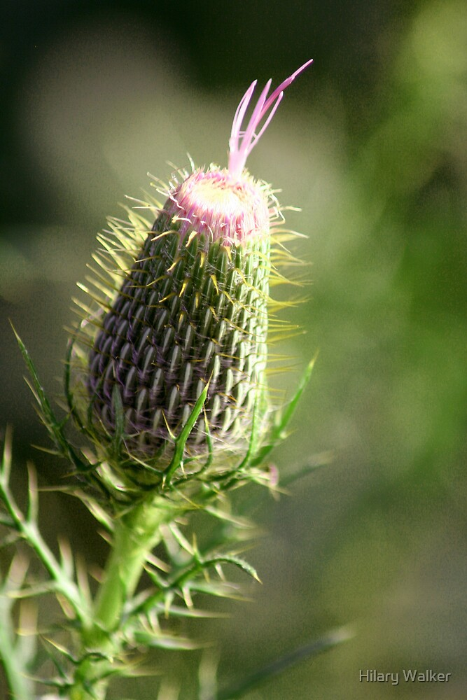 Prickly Beauty by Hilary Walker
