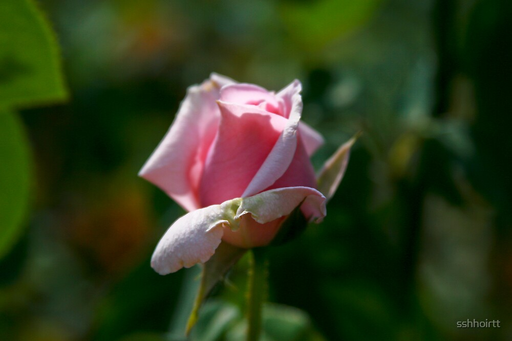 Pink Rose by sshhoirtt