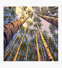 Aspen Trees Photographic Print
