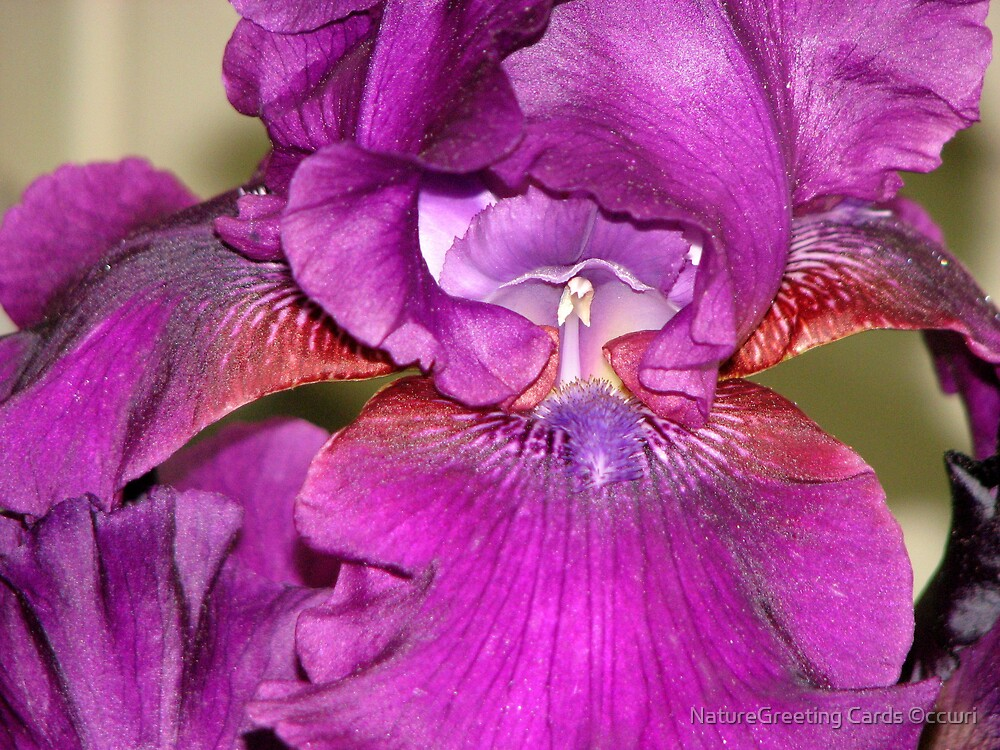 Iris by NatureGreeting Cards ©ccwri