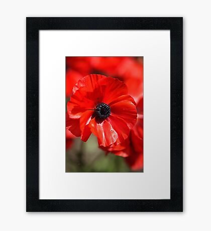 Beautiful Red Ranunculus Flowers Framed Print