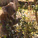 Koala feeding by georgieboy98