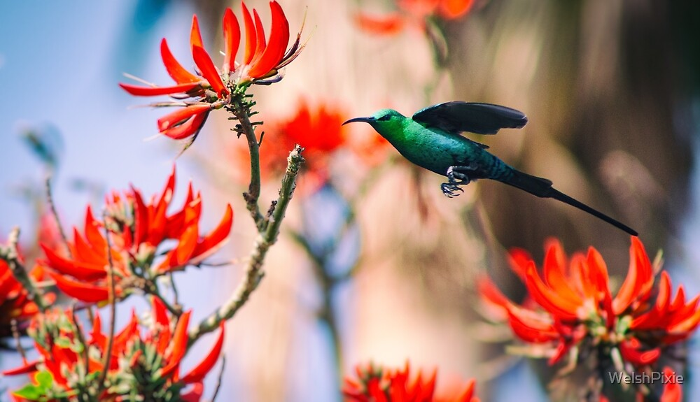 Malachite Sunbird In Flight by WelshPixie