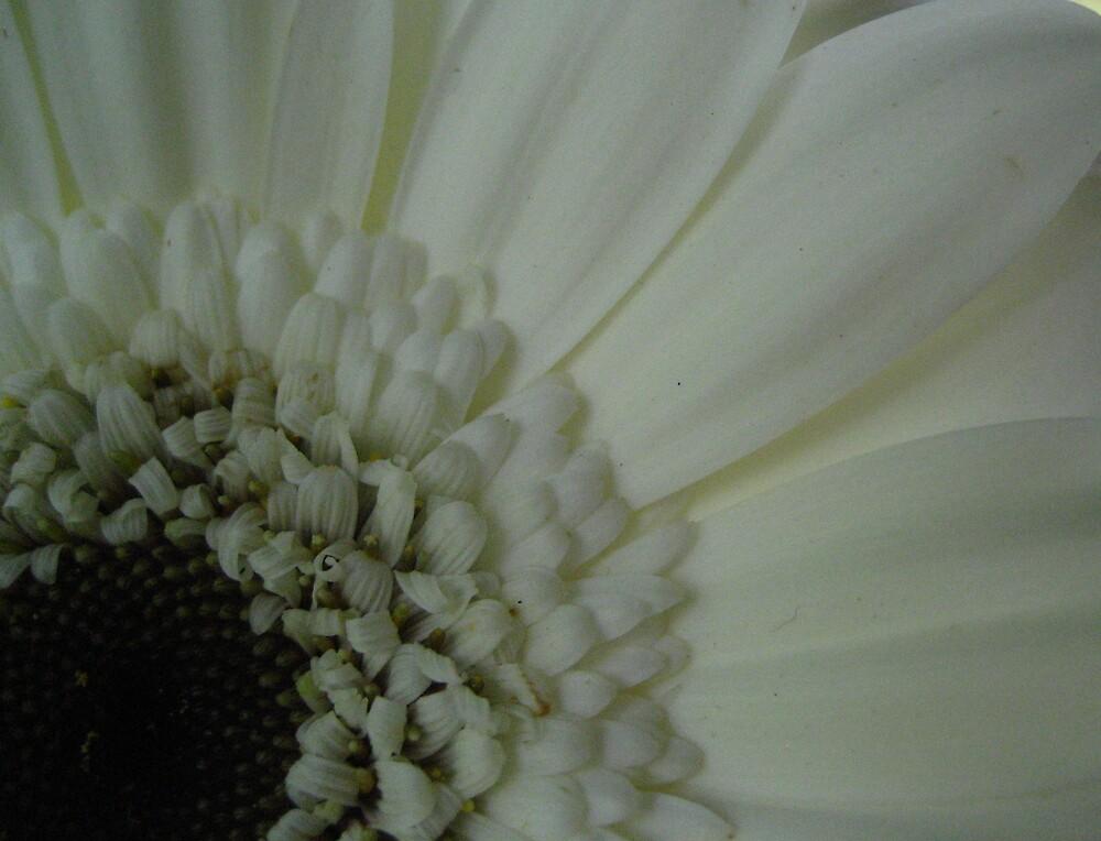 White Gerbera by junebug076