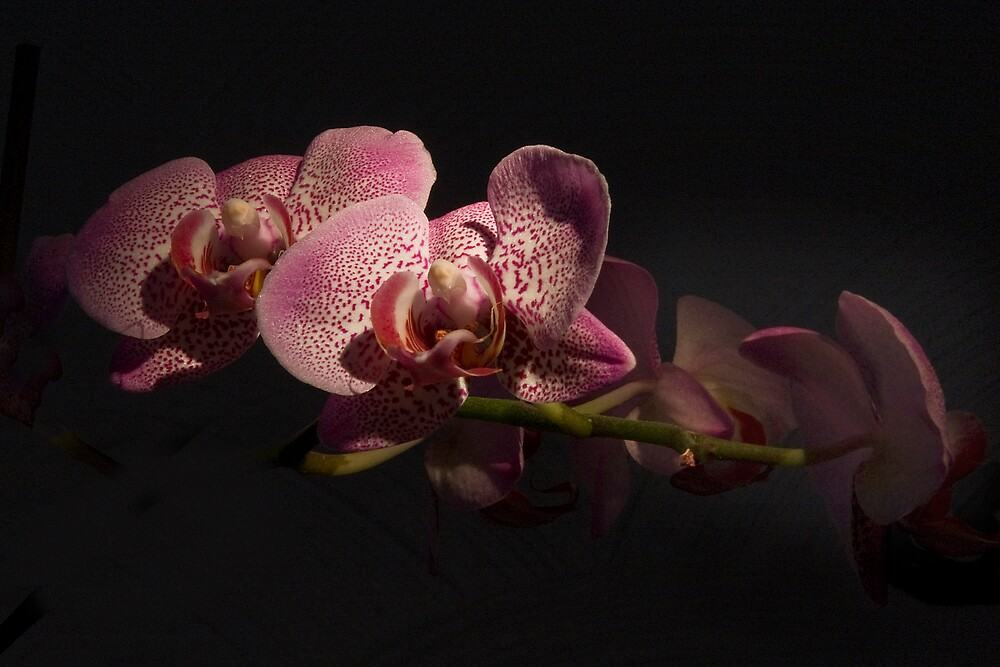 Orchids by Night by Chris Clark
