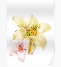 Pink and yellow lily Poster