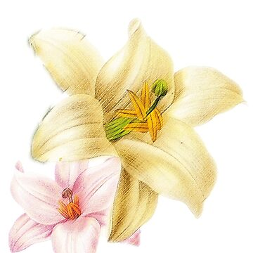 Pink and yellow lily by p-insolito