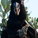Male Yellow Tail Black Cockatoo by Normf