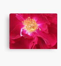 Old Fashioned Red Rose Canvas Print