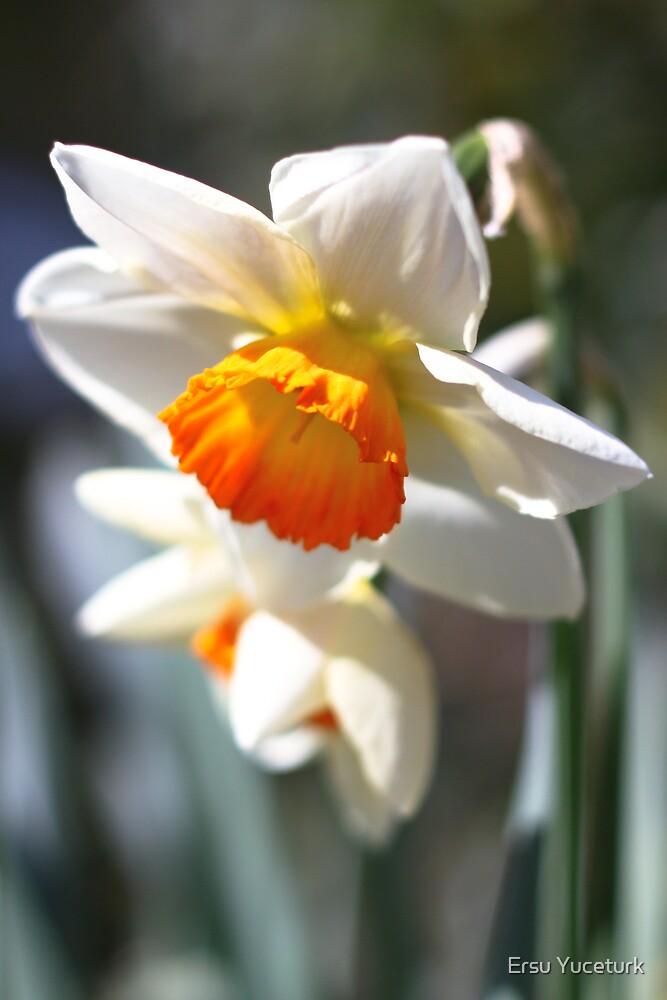 Daffodil Bells by Ersu Yuceturk