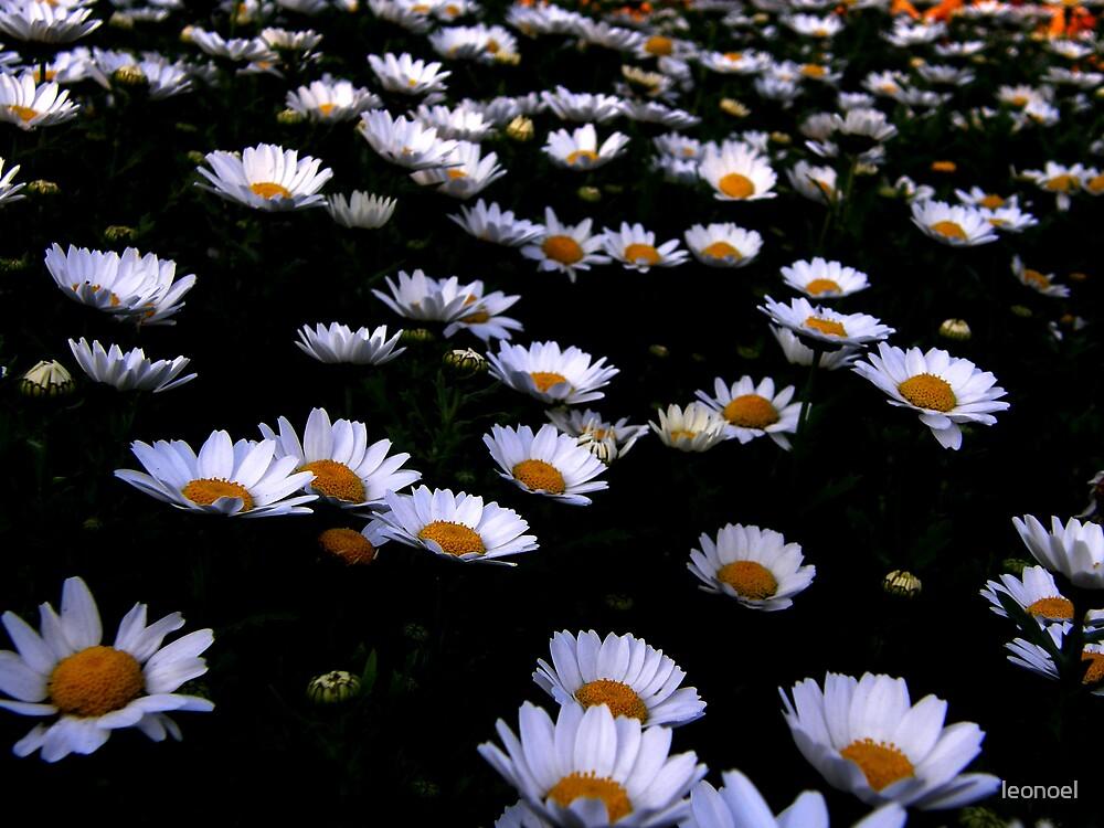 floating daisies  by leonoel
