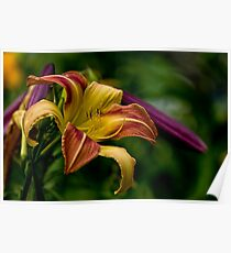 """""""Cobourg Fright Wig"""" Daylily Poster"""