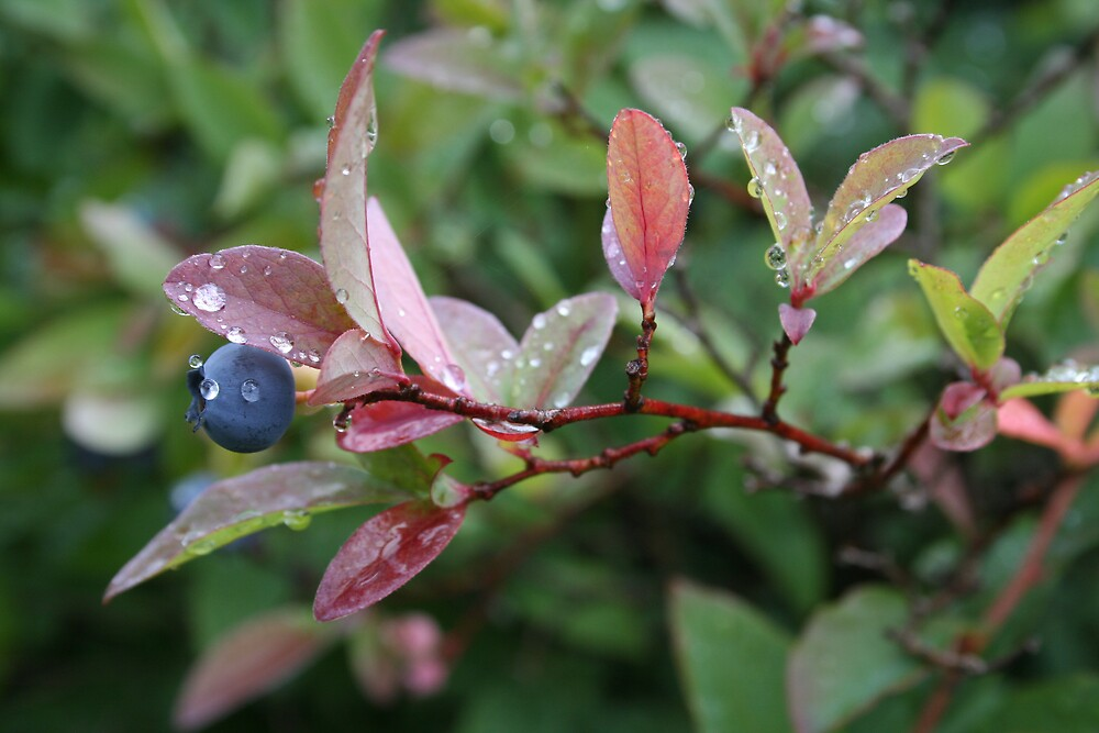 Mountain Blueberry Delight by Calvin Hanson