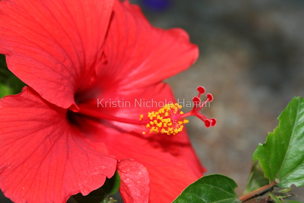 Red Hibiscus by Kristin Hamm