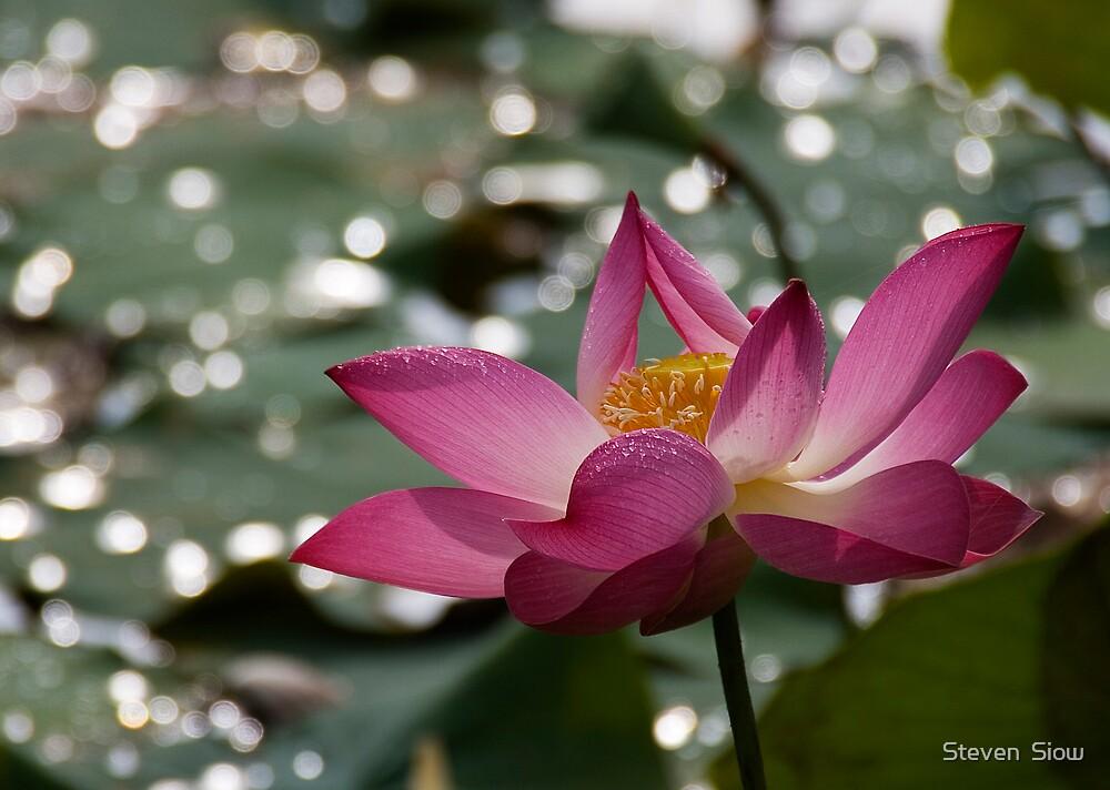 Praying Lotus by Steven  Siow