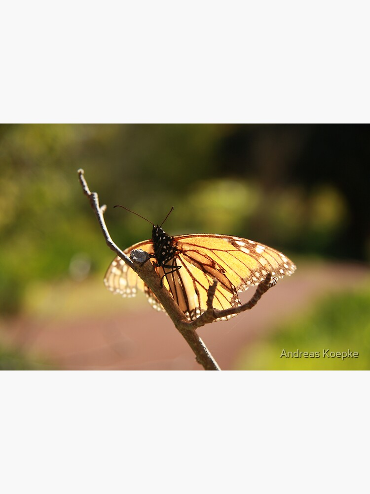 Butterfly at Araluen by mistered