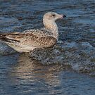 Juvenile Gull Riding a Wave by Gerda Grice