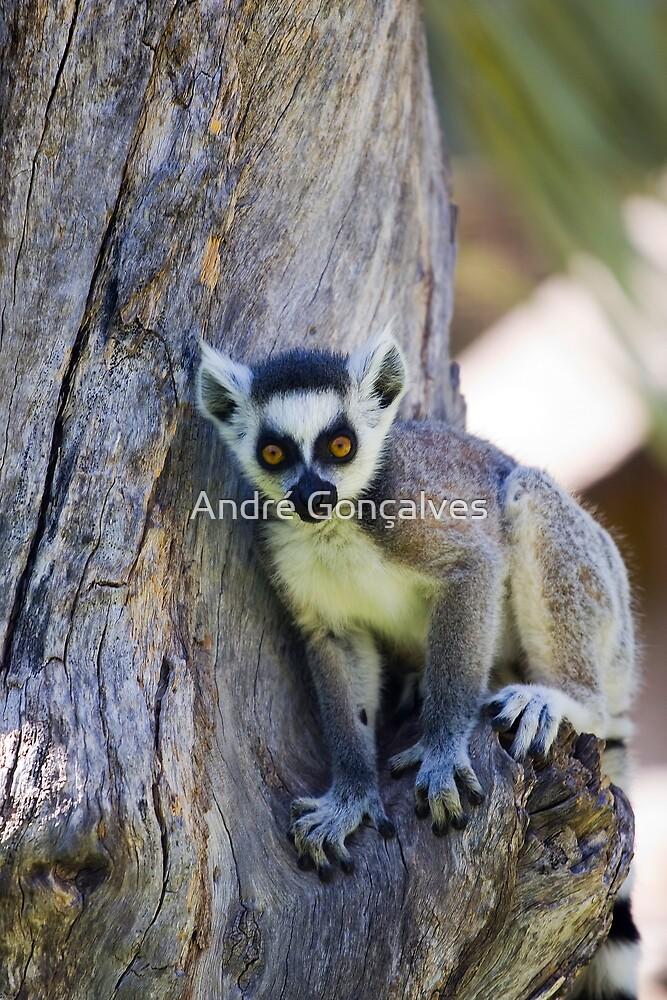 Lemur Catta by André Gonçalves