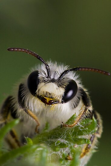 Mining bee (Andrena sp.) by André Gonçalves