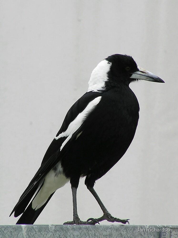 Male Australian Magpie by Jan Richardson