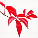 Red Leaves by JEZ22