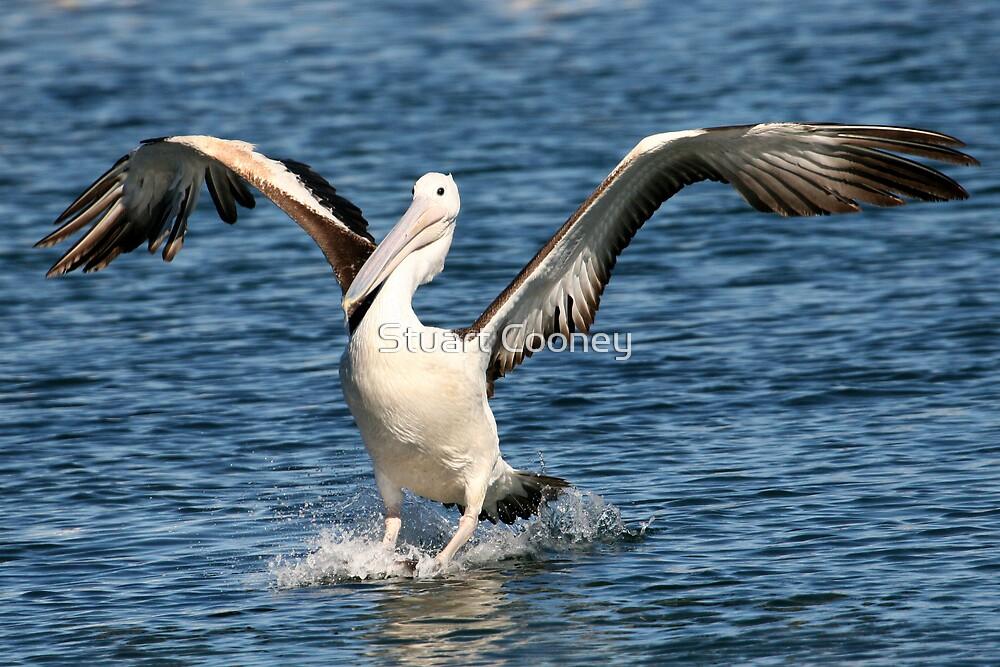 Australian Pelican 2 by Stuart Cooney