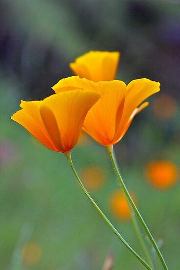 Golden Tufted Poppy by John Butler