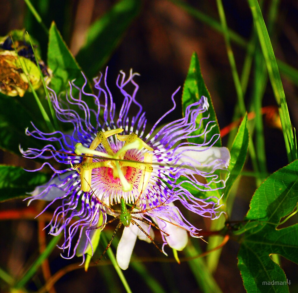 Beautiful Flower With Spider by madman4