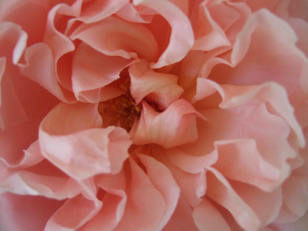 peach rose 'close' by secretbutterfly