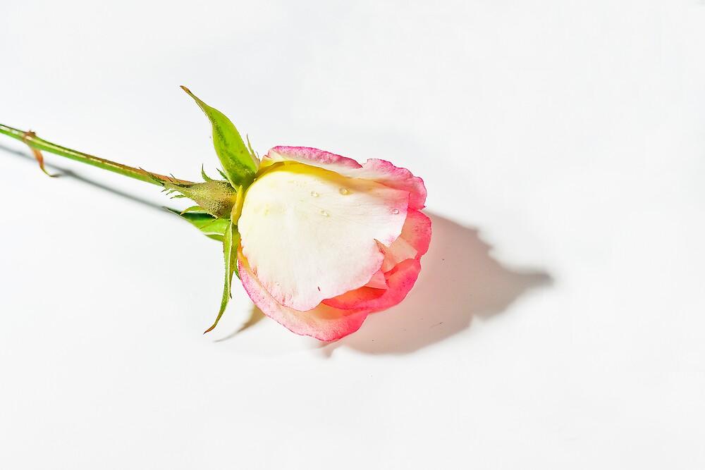 Fair rose by mausue