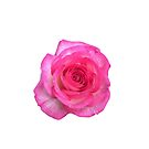 Pink White Rose floral Beauty by EllenDaisyShop