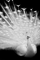 White peacock posing by AleFairyland