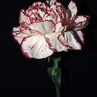 Charming Carnation by SharonD