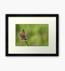 Brown Argus butterfly Framed Print