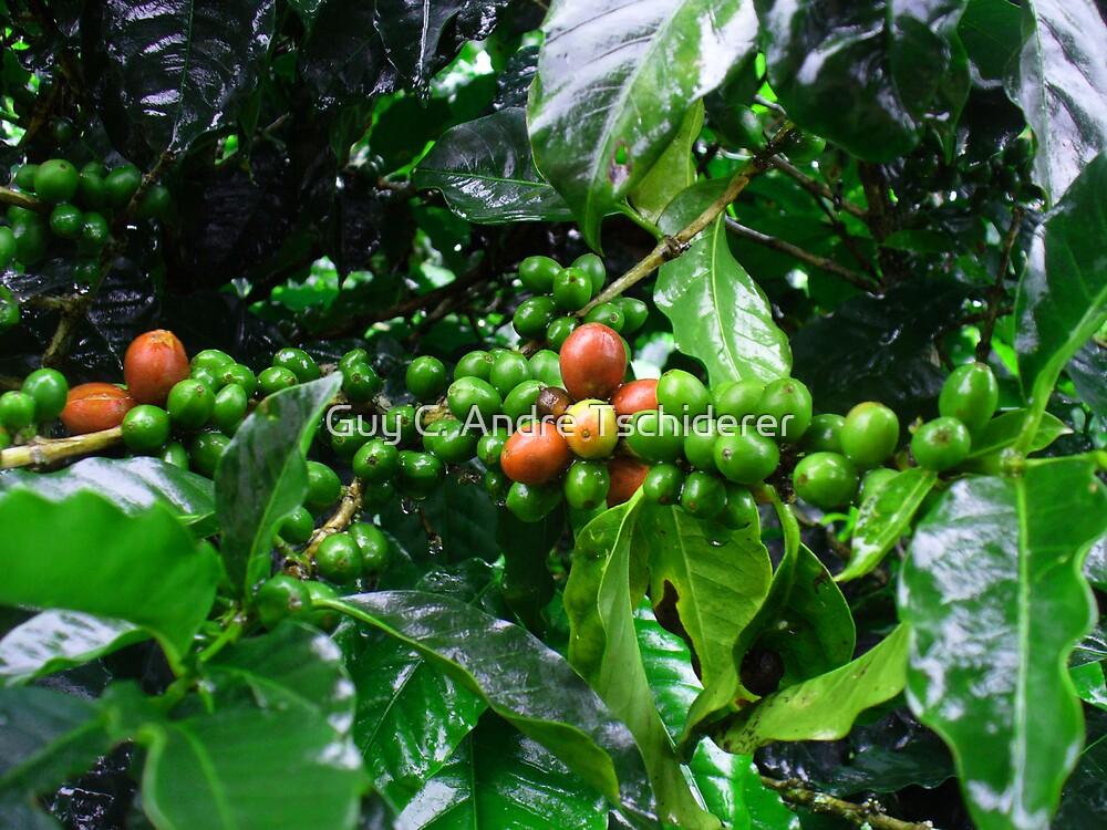Costa Rica Highland Coffee, still green by Guy C. André Tschiderer