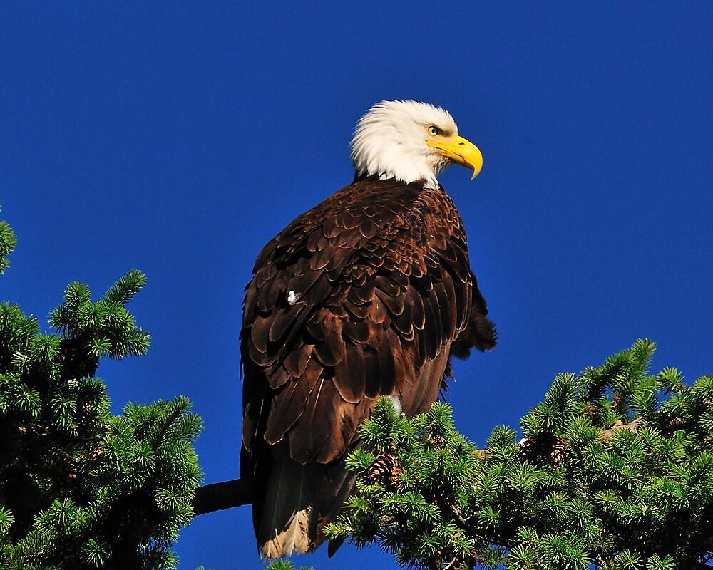 BEAUTIFUL EAGLE IN THE BLUEST SKIES by MsLiz
