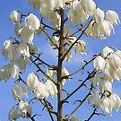 yucca flower by Sheila McCrea