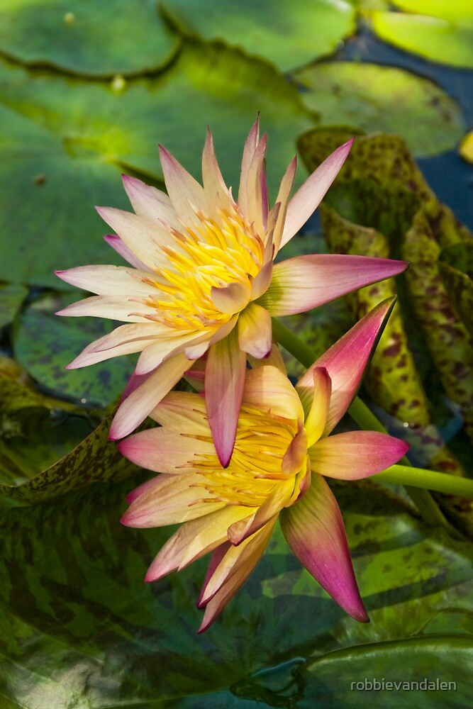 Water Lily  3 by robbievandalen