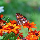 Gulf Fritillary On Zinnia by Cynthia48
